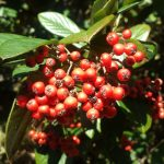 Picture of New Zealand Winter Berries